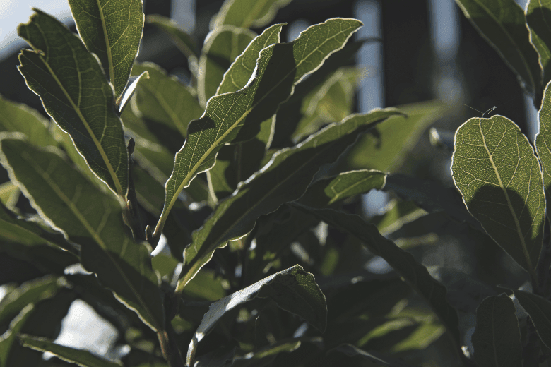 Bay leafes growing naturally in sunlight