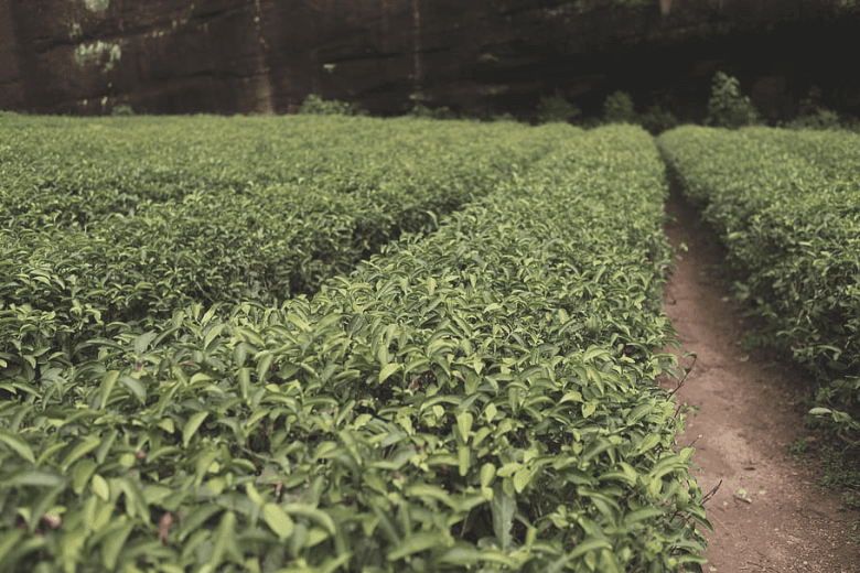 Rows of green tea plant bushes